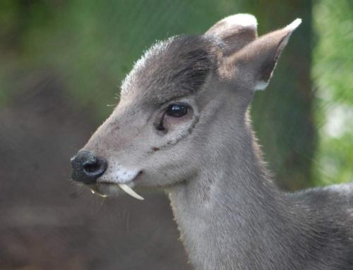 Виды оленей пригодные для фермерского содержания