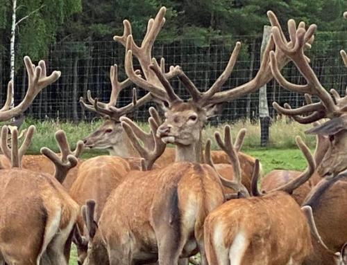 Рога оленей. Влияние генетики и питания